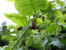 Nightshade mortal, flor de la belladona, fotos de archivo libres de regalías