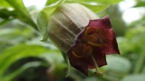 Nightshade mortal, flor de la belladona, metrajes