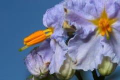 Nightshade preto da flor Fotografia de Stock Royalty Free