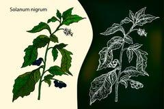 Nightshade preto europeu Solanum Nigrum ou localmente nightshade, ilustração royalty free