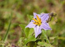 Nightshade Silverleaf, elaeagnifolium Solanum стоковое изображение rf