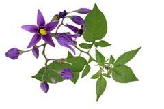 Nightshade Solanum dulcamara. Flowers isolated on white stock photos