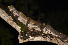 Nighttime Camouflaged Southeast Asian Water Monitor Asleep on Branch Stock Image