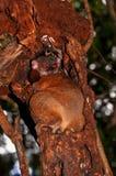 Nighttime Lemure Obraz Stock