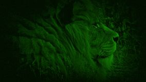 Nightvision lion in the grass. Night-vision view of lion lying in the grass stock footage