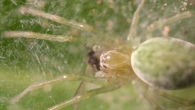 Nigma Walckenaeri pająka łasowanie lata zbiory wideo