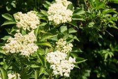 Nigra blanc de Sambucus de fleur d'aîné Photographie stock libre de droits