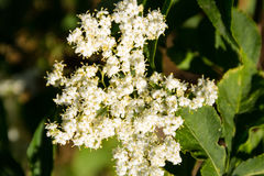 Nigra blanc de Sambucus de fleur d'aîné Images stock