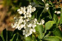 Nigra blanc de Sambucus de fleur d'aîné Photo stock