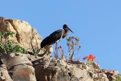 Nigra de Ciconia de cigogne noire sur une roche Images libres de droits