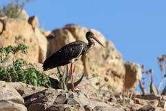 Nigra de Ciconia de cigogne noire sur une roche Images stock
