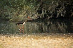 Nigra de Ciconia La nature sauvage de la Bulgarie Nature libre r Rhodopes Grand oiseau Montagnes en Bulgarie photo libre de droits