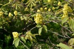Nigra de Sambucus d'aîné ou de baie de sureau Fleurs et feuilles au printemps Photo libre de droits