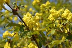 Nigra de Sambucus d'aîné ou de baie de sureau Branches avec des fleurs et des feuilles Photos libres de droits