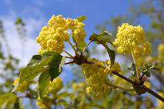 Nigra de Sambucus d'aîné ou de baie de sureau Fleurs et feuilles contre le ciel bleu Images stock