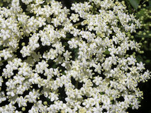 Nigra de Sambucus d'Elderflower Photographie stock