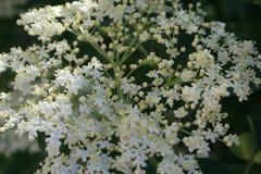 Nigra de Sambucus - fleur de sureau en détail/macro photo Photo stock