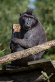 Nigra del Macaca Imagenes de archivo