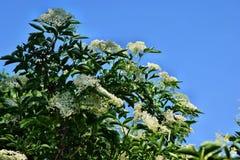 Nigra di fioritura del Sambucus di sambuco immagine stock libera da diritti