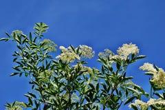 Nigra di fioritura del Sambucus di sambuco fotografia stock libera da diritti
