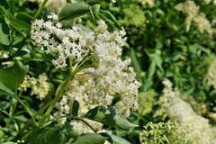 Nigra di fioritura del Sambucus di sambuco fotografie stock
