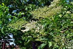 Nigra di fioritura del Sambucus di sambuco fotografia stock