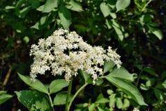 Nigra di fioritura del Sambucus di sambuco immagini stock libere da diritti