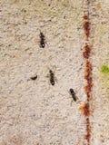 Nigra lasius μυρμηγκιών ίχνος στο συμπαγή τοίχο του σπιτιού, κινηματογράφηση σε πρώτο πλάνο, εκλεκτική εστίαση, ρηχό DOF Στοκ εικόνες με δικαίωμα ελεύθερης χρήσης