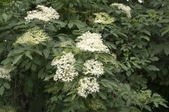 Nigra Sambucus στην άνθιση, μέρη του μικρού άσπρου λουλουδιού στοκ εικόνα