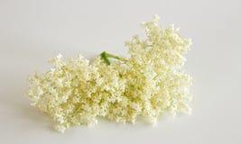 Nigra Sambucus Elderberry на белой предпосылке Цветки и ягоды использованы наиболее часто целебно стоковые изображения