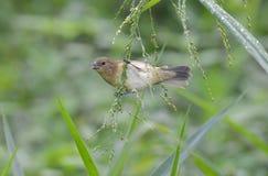 nigricollis Amarelo-inchados de Sporophila do comedor de sementes foto de stock