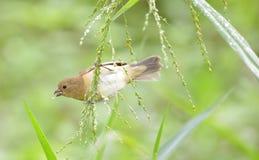 nigricollis Amarelo-inchados de Sporophila do comedor de sementes foto de stock royalty free