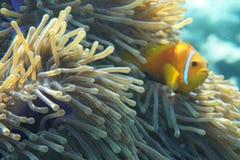 Nigripes d'Amphiprion d'anemonefish des Maldives photos stock