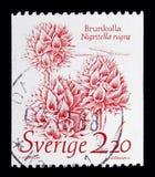 Nigritella老黑-黑香草兰花,自然serie,大约198 库存图片