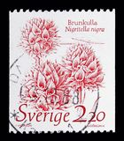 Nigritella nigra - svart vaniljorkidé, naturserie, circa 198 Arkivbilder