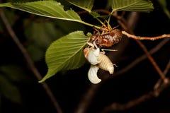 Nigrofuscata de Graptopsaltria Photographie stock libre de droits