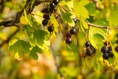 Nigrum смородины ягод Blackcurrant зрелое Стоковое Изображение RF