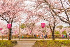 Niiagata, Japan - April 09, 2017: Mooie kersenbloesem sak Stock Afbeeldingen