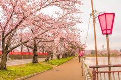 Niigata, Япония - April 09, 2017: Красивый вишневый цвет, sa Стоковое Изображение RF