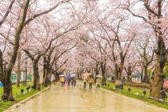 Niigata, Japonia - April 09, 2017: Piękny czereśniowego okwitnięcia saku Obrazy Stock