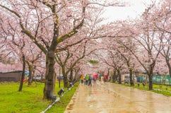 Niigata, Japonia - April 09, 2017: Piękny czereśniowego okwitnięcia saku Zdjęcia Royalty Free