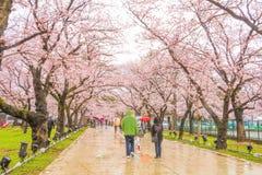Niigata, Japonia - April 09, 2017: Piękny czereśniowego okwitnięcia saku Obrazy Royalty Free