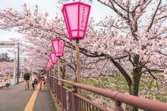 Niigata, Japonia - April 09, 2017: Piękny czereśniowego okwitnięcia saku Fotografia Royalty Free