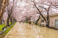 Niigata, Japonia - April 09, 2017: Piękny czereśniowy okwitnięcie, sa Fotografia Stock