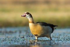 Nijlgans, Egyptian Goose, Alopochen Aegyptiacus stock image