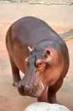 Nijlpaard Royalty-vrije Stock Fotografie