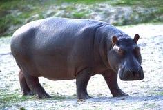 Nijlpaard Royalty-vrije Stock Foto's