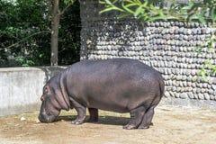 Nijlpaard Royalty-vrije Stock Afbeeldingen