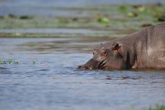 Nijlpaard (amphibius van het Nijlpaard) Royalty-vrije Stock Foto's