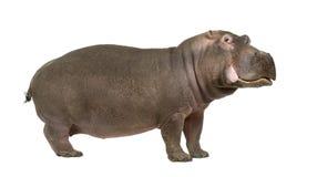 Nijlpaard - amphibius van het Nijlpaard (30 jaar) Stock Afbeeldingen